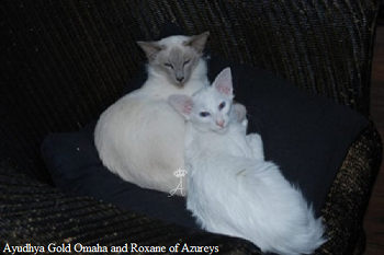 Azureys Cats - Roxane